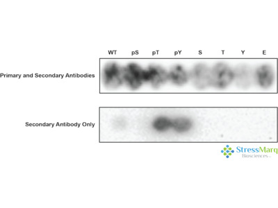 Ksr2 Antibody (pSer490)
