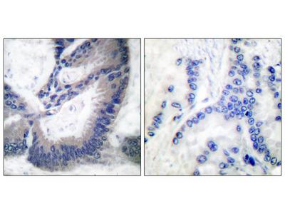 iNOS Antibody: Alkaline Phosphatase