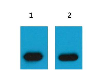 mCherry Antibody