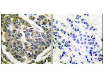 Collagen IV Antibody: APC
