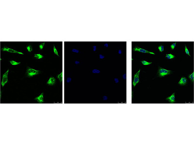 Vimentin Antibody: ATTO 390