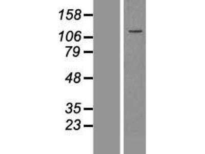 Transient overexpression lysate of flightless I homolog (Drosophila) (FLII)