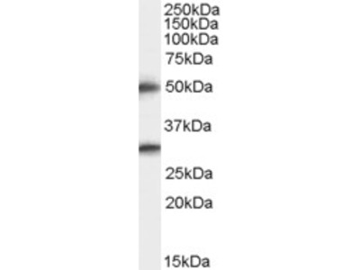 Goat Polyclonal Antibody against TMPRSS5