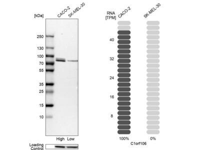 Anti-C1orf106 Antibody