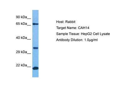 CA14 Antibody - N-terminal region (ARP77211_P050)