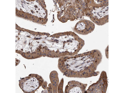 Anti-GADD45B Antibody