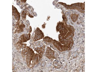 Anti-ARL5A Antibody