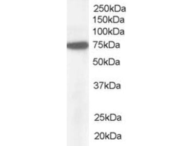 Goat Polyclonal Antibody against Pericentrin 1 / NUP85