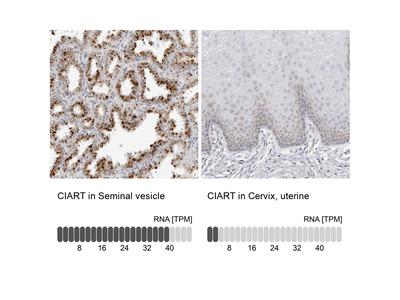 Anti-CIART Antibody