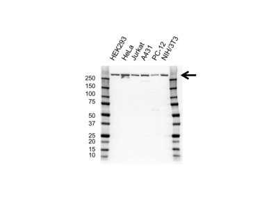 CREB BINDING PROTEIN ANTIBODY WITH CONTROL LYSATE