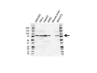 ALDH18A1 ANTIBODY WITH CONTROL LYSATE