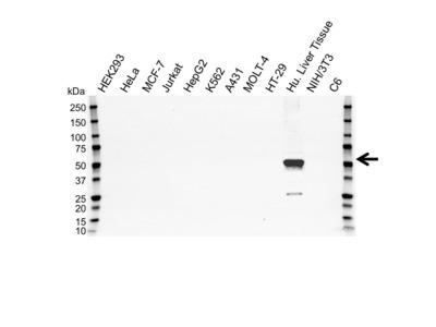 MOUSE ANTI CYTOCHROME P450 3A4