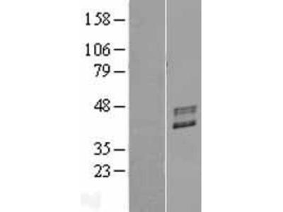 Transient overexpression lysate of fucosyltransferase 2 (secretor status included) (FUT2), transcript variant 1