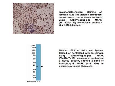 Anti-Phospho-p38 MAPK (Thr180/Tyr182) Rabbit Monoclonal Antibody