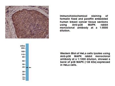 Anti-p38 MAPK Rabbit Monoclonal Antibody