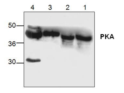p38 MAP Kinase Antibody