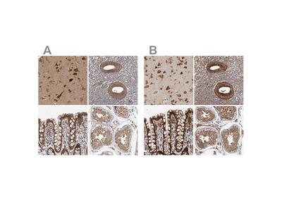 Anti-EIF3I Antibody
