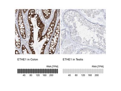 Anti-ETHE1 Antibody