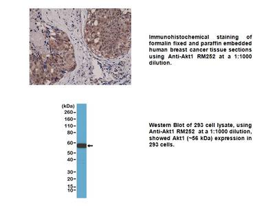 Anti-Akt1 Rabbit Monoclonal Antibody