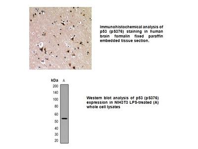 Phospho-p53 (Ser376) Antibody