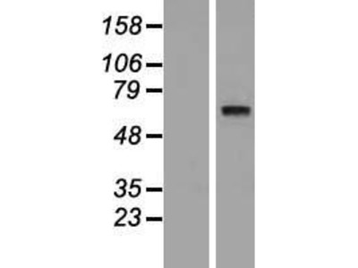 SYT10 (NM_198992) Human Over-expression Lysate