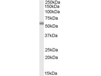 Goat Polyclonal Antibody against TBC1D10C