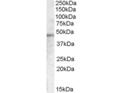Goat Polyclonal Antibody against TMPRSS3