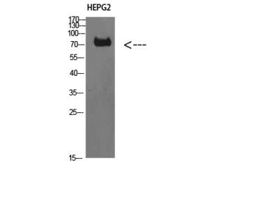 Anti-TRIF antibody (STJ98614)