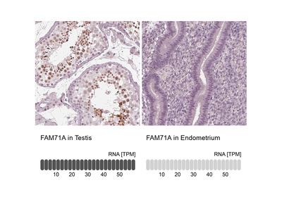 Anti-FAM71A Antibody