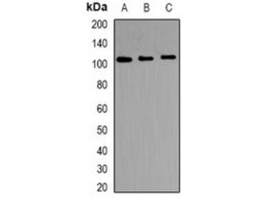 TRAK2 antibody