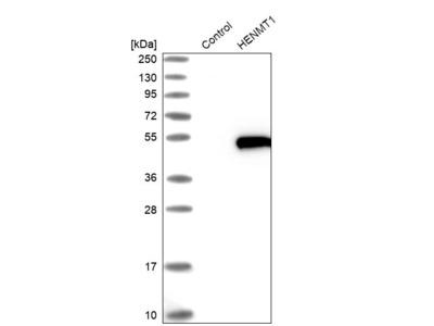 Anti-HENMT1 Antibody