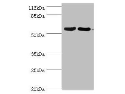 CRMP1 antibody