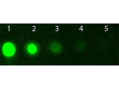 AKT2 APC antibody (APC)