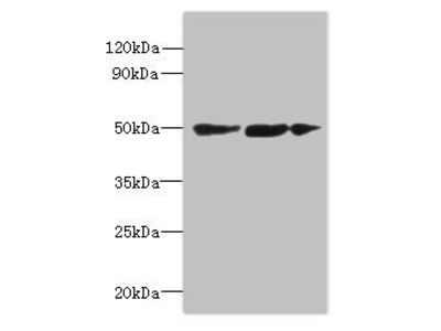 SLC25A46 antibody