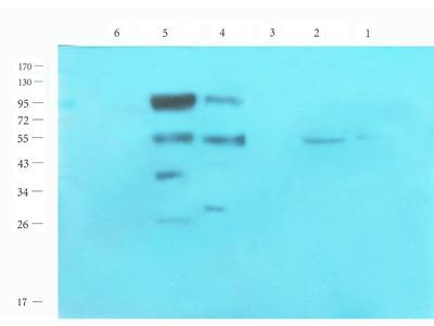 CRISP1 antibody