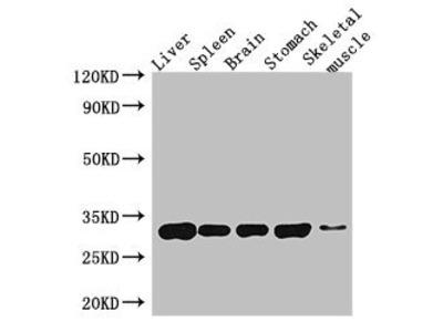 GPM6A antibody