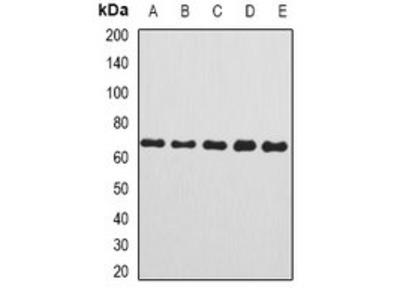 C8B antibody