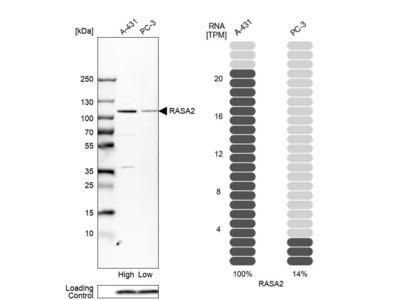 Anti-RASA2 Antibody