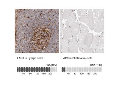 Anti-LAP3 Antibody