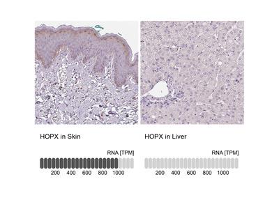 Anti-HOPX Antibody