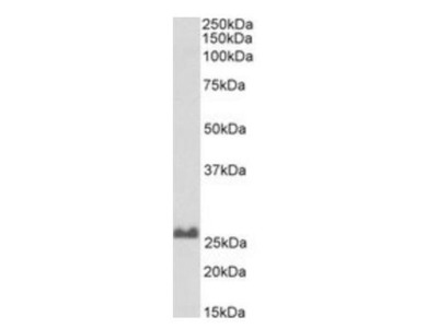 SNAP25 antibody (Biotin)