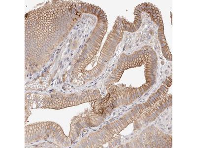 Anti-SLC35B2 Antibody