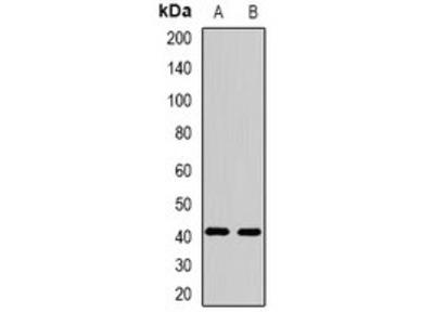 FBXO32 antibody
