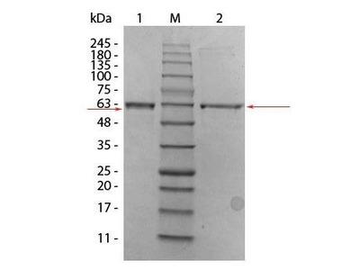 Human AKT2 (phosphatase treated) protein