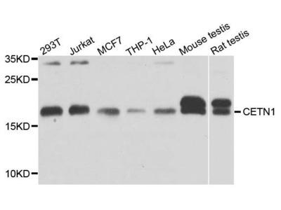 CETN1 antibody