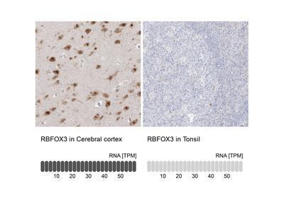 Anti-RBFOX3 Antibody