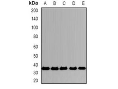 SLAMF7 antibody