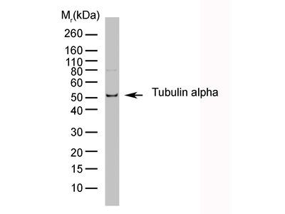 RAT ANTI TUBULIN ALPHA:HRP