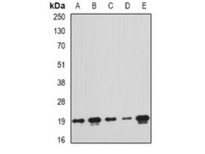 PTRH2 antibody