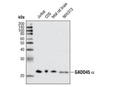 GADD45 alpha (D17E8) Rabbit mAb